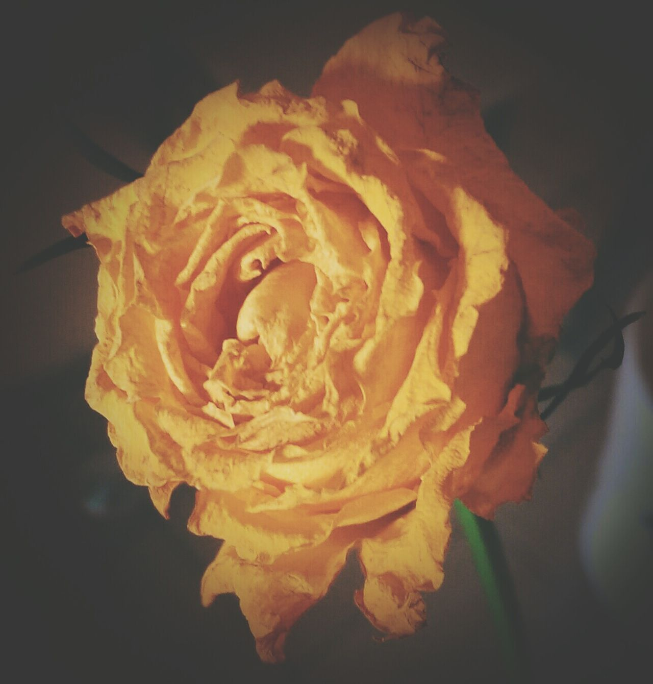 Single Flower Softness Rose - Flower Yellow Rose Fragility Growth Process Flowerporn Edited Eyem Best Edits Eyemphotography Yellow Eyem Gallery Flower Head Yellow Flower Dried Flowers Close-up No People