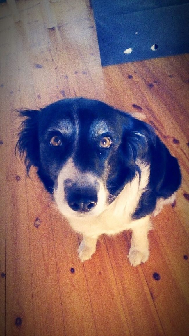 Hello World Dog❤ Dog Border Collie Bordercollie  Looking For Food My First Photo On EyeEm  29 First Eyeem Photo