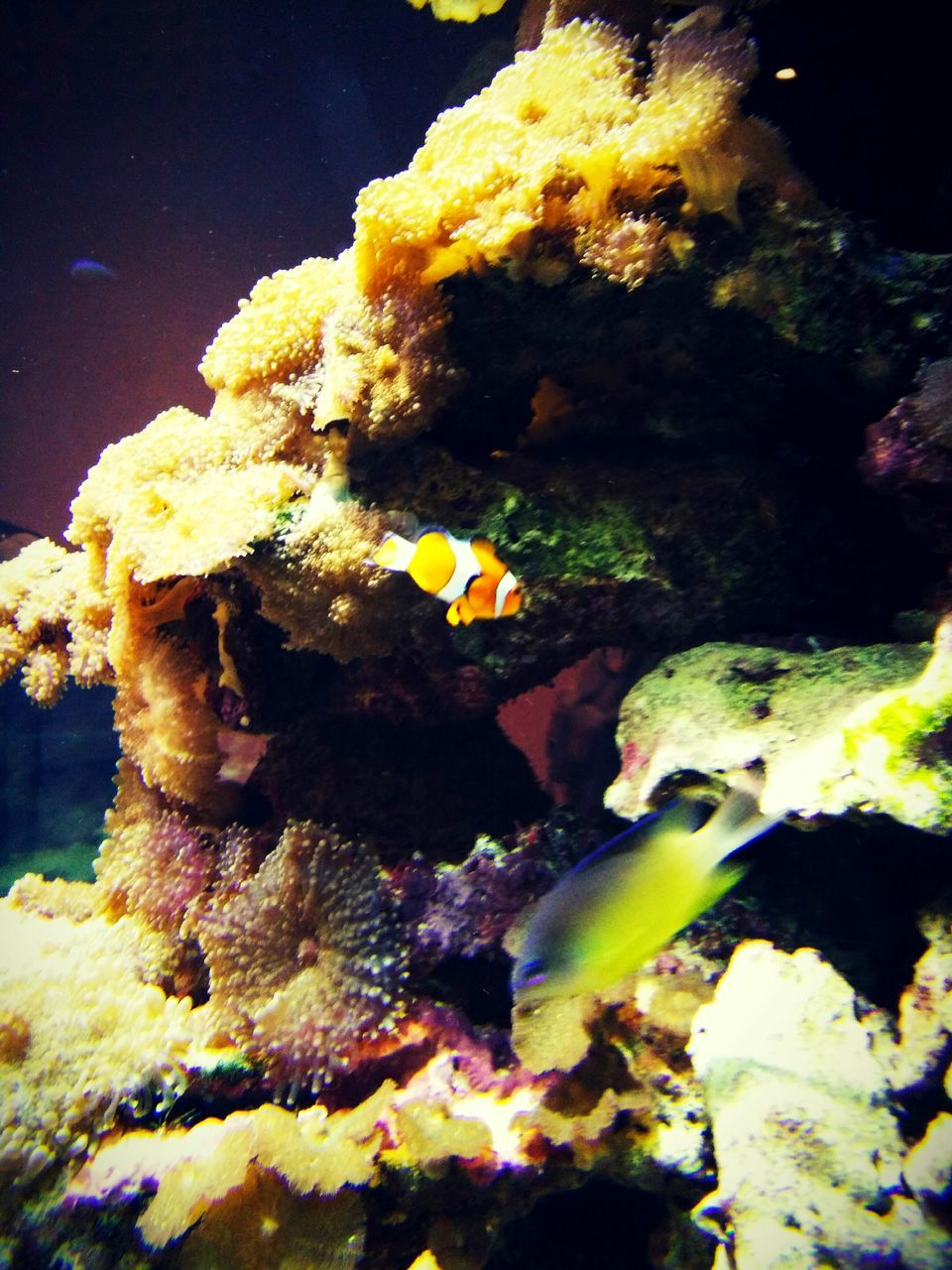 underwater, sea life, undersea, water, close-up, coral, no people, animals in the wild, animal themes, fish, sea, one animal, yellow, nature, clown fish, aquarium, indoors, swimming, beauty in nature, day, sea anemone