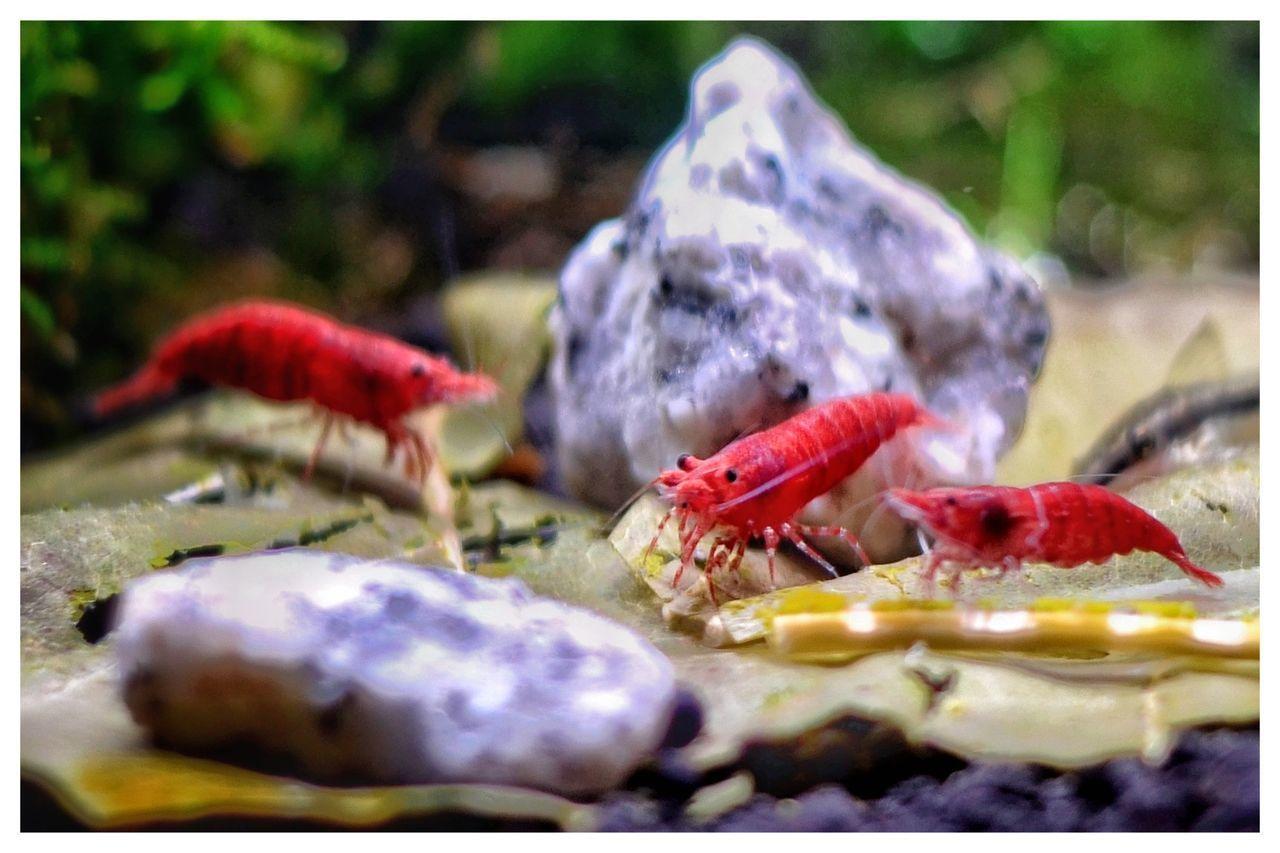 Crustacean Aquarium Life Shrimps For Aquarium Samsung Galaxy S7 Edge Nanotank Aquarium Photography Beauty In Nature Shrimp Lovers Underwater Aquarium Red