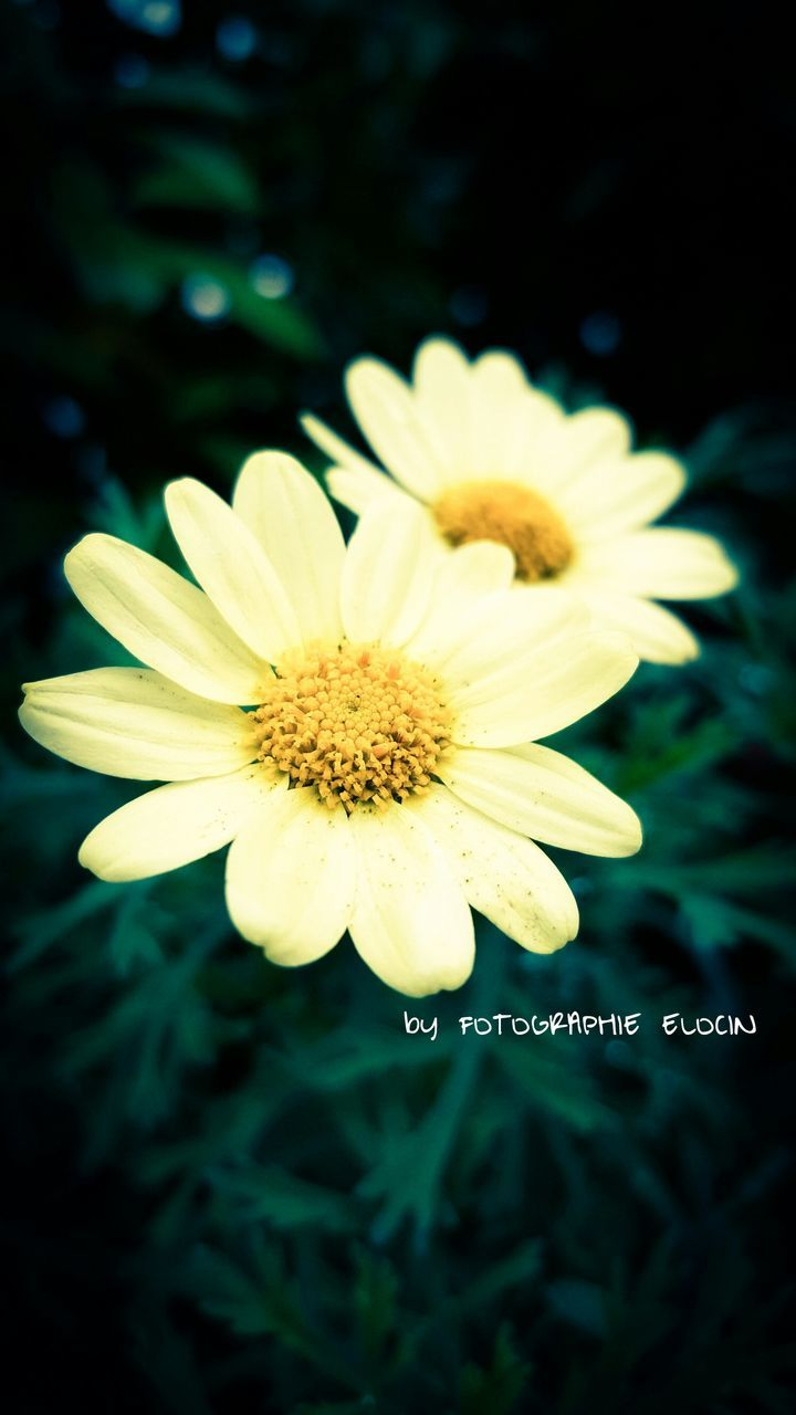 flower, petal, fragility, nature, beauty in nature, growth, freshness, flower head, plant, yellow, blooming, no people, close-up, outdoors, day, osteospermum