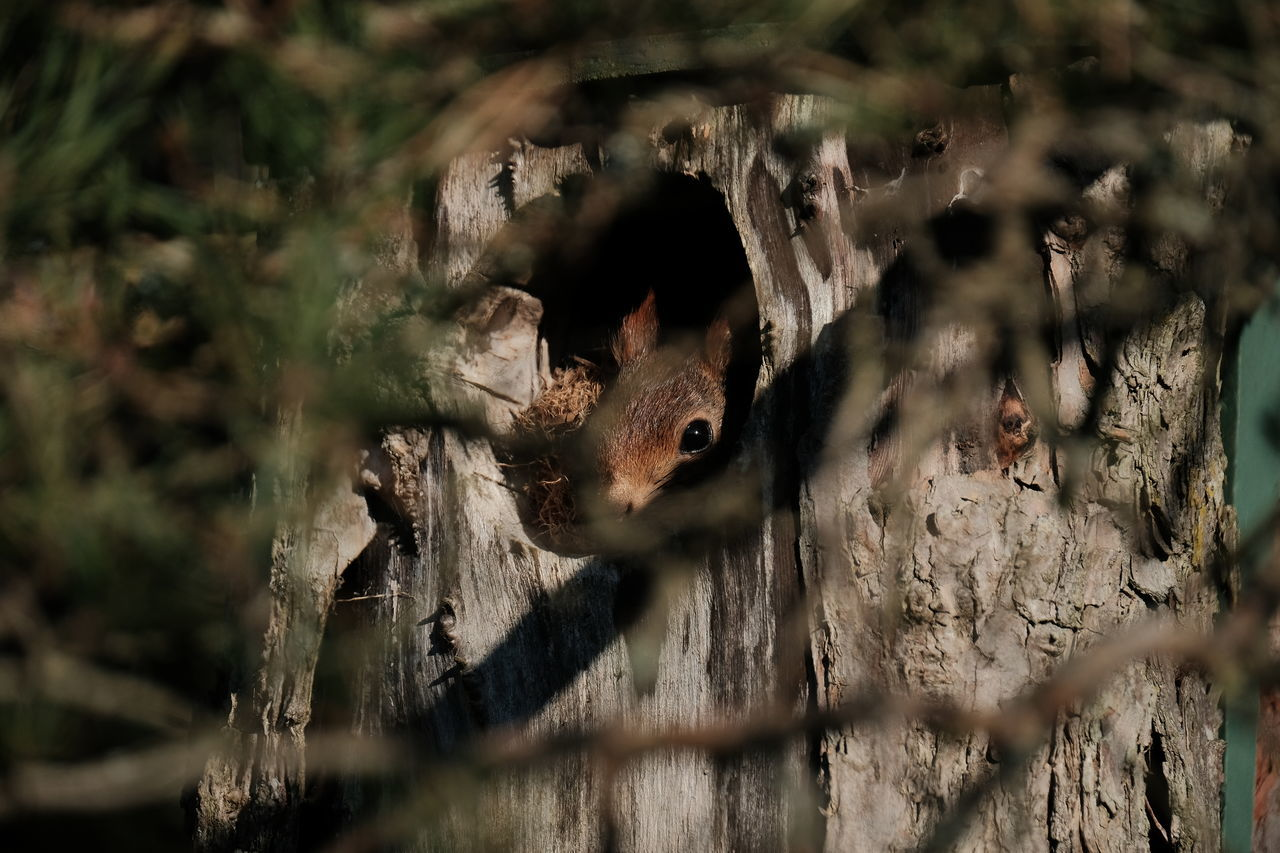 Squirrel Animal Themes Animal Wildlife Animals In The Wild Ekorre Enjoying Life EyeEm Nature Lover Eyem Sweden Forest Fujifilm FUJIFILM X-T2 Kungshamn Natur Nature Nature_collection Nest One Animal Outdoors Sotenäs Squirrel Svensk Natur Sweden Swedish Nature Taking Photos XF100-400 Xf100400