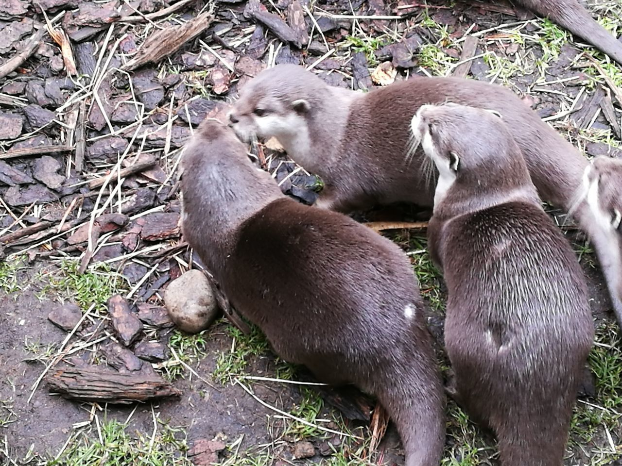 Animal Themes Mammal Togetherness Outdoors Young Animal Animal Family No People Nature Animal Wildlife Otter Otters Otters! Love Love ♥ Beauty In Nature Play
