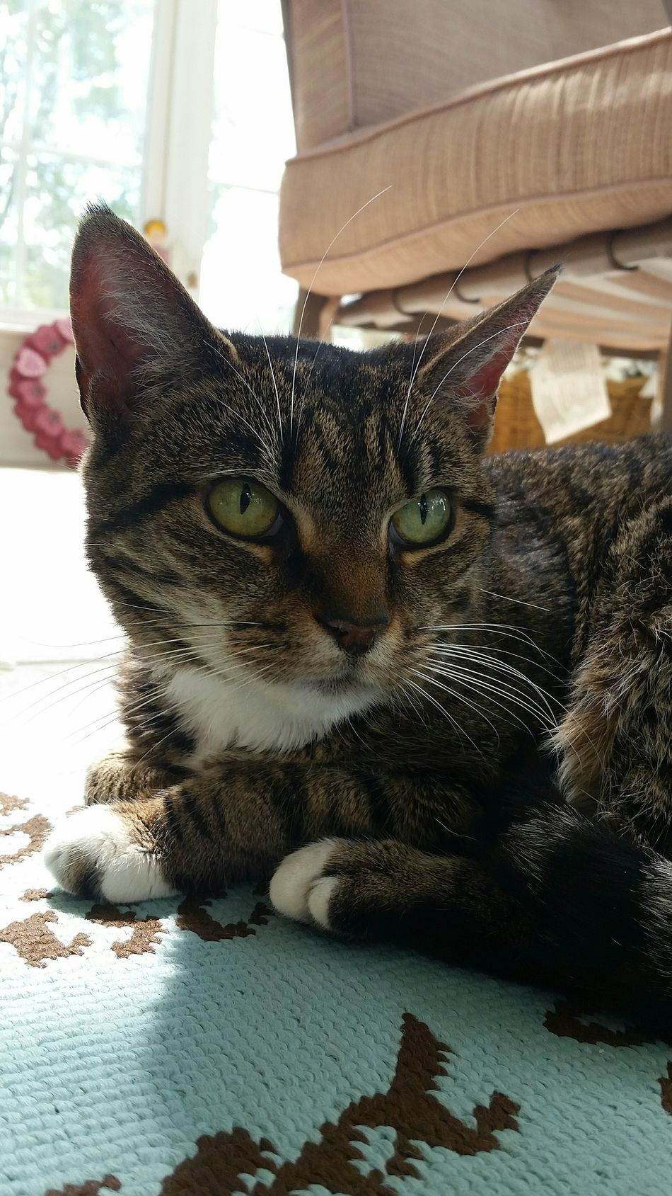 Maemow American Short Hair Tabby Cat Cats My Baby Pets Best Cat Ever