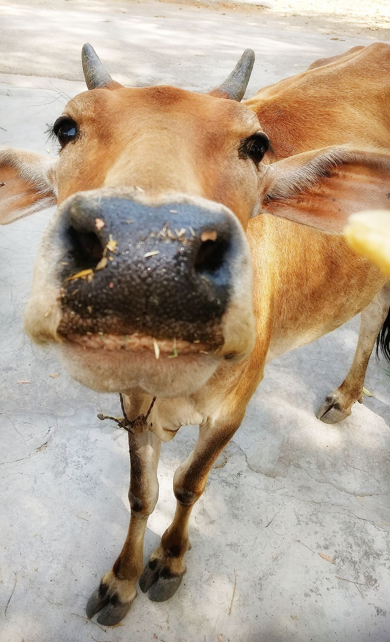 Bovine Cows🐮 Close Up Shot Vintage❤ Break The Mold EyeEmNewHere