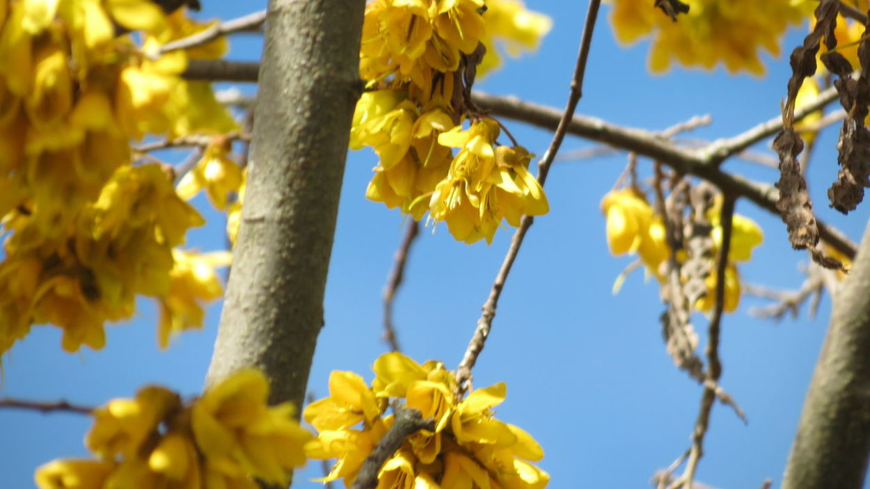 Yellow Flower No People Hanging Leaf Fragility Growth Outdoors Nature Close-up Beauty In Nature Day Tree Branch Nz Native Tree Kowhai Early Bloom Beauty In Nature Love Happy Sunshine Freshness Sky Flower Head Live For The Story Paint The Town Yellow