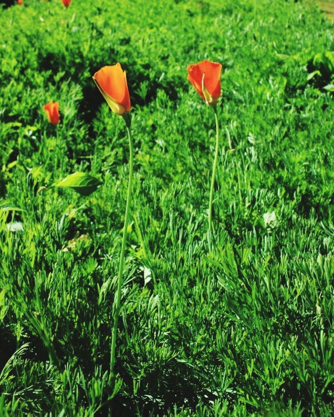 Opium Poppies Red Green Flowers Tree