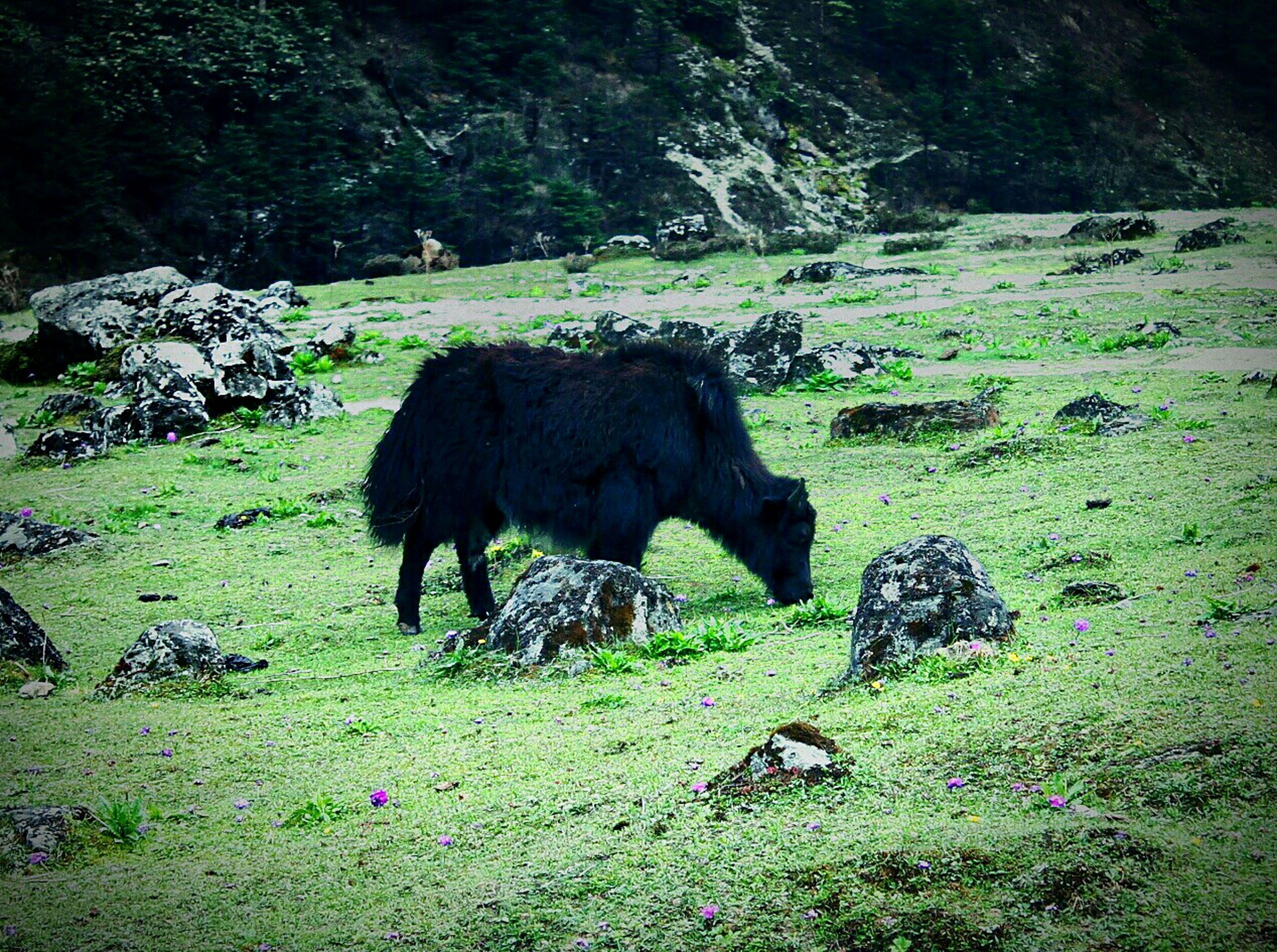 Mountain Yak Eating Lush Green Grass Animal Photography Animal_collection EyeEm Animal Lover Hilly Area Taken In Sikkim, India Incredible India ☺☺😊😊