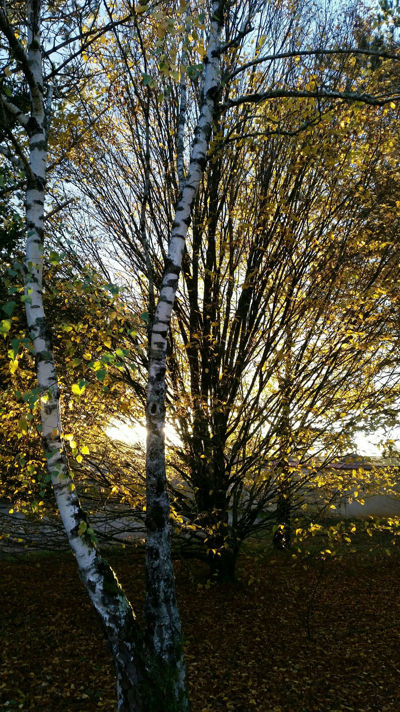 Tree Growth Beauty In Nature Bourges, France TreePorn Sky Autumn Colours Landscape Yellow Leaves Taking Photos EyeEm Nature Lover Autumn 2016 Autumn Sunlight Branches