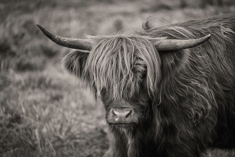 Fringe Domestic Animals Animal Hair Domestic Cattle Highland Cattle EyeEm Masterclass Northamptonshire Coo Highland Cow Long Hair Fine Art Photography Beauty In Nature EyeEm Nature Lover Countryside Wildlife & Nature Snout Hairy Beast Animal Themes Animal Head  Field Monochrome Photography