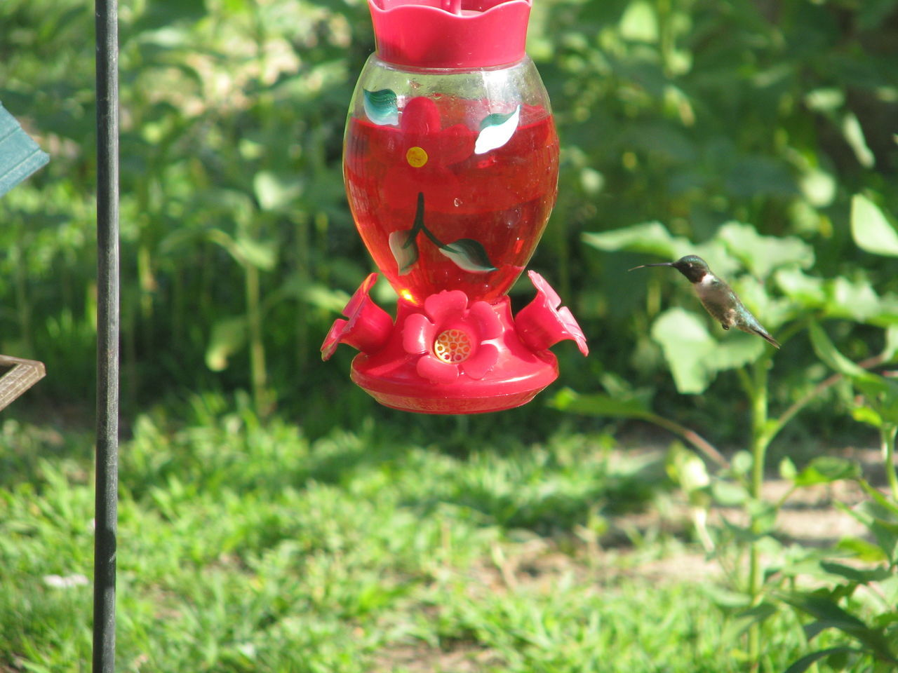Animal Themes Animals In The Wild Bird Bird In Flight Day Green Color Growth Hanging Hummingbird Hummingbird Feeder Hummingbird In Flight Insect Nature No People One Animal Outdoors Red Wildlife