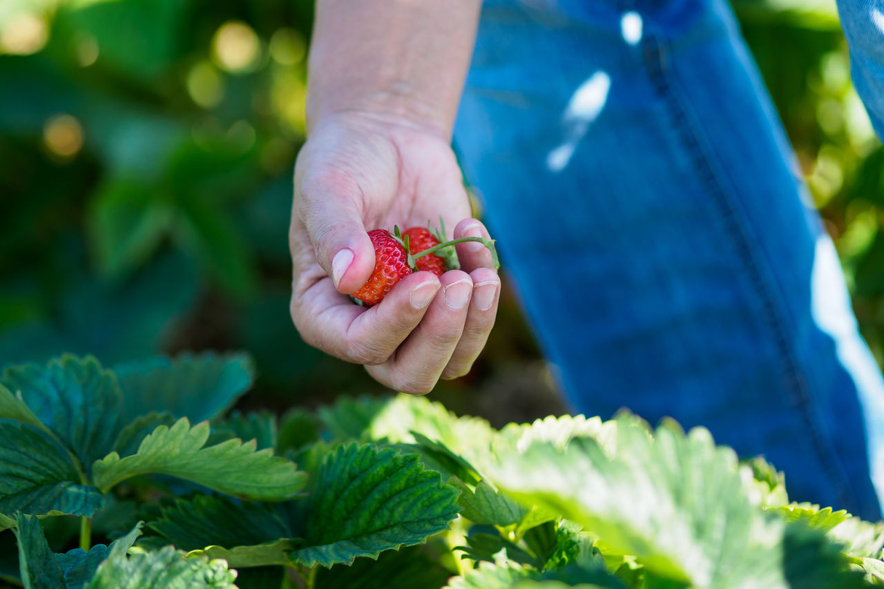 Some strawberries for the lunch Beauty In Nature Close-up Day Food Food And Drink Freshness Fruit Green Color Growth Healthy Eating Holding Human Body Part Human Hand Leaf Lifestyles Men Nature One Person Outdoors People Plant Real People Red Strawberry