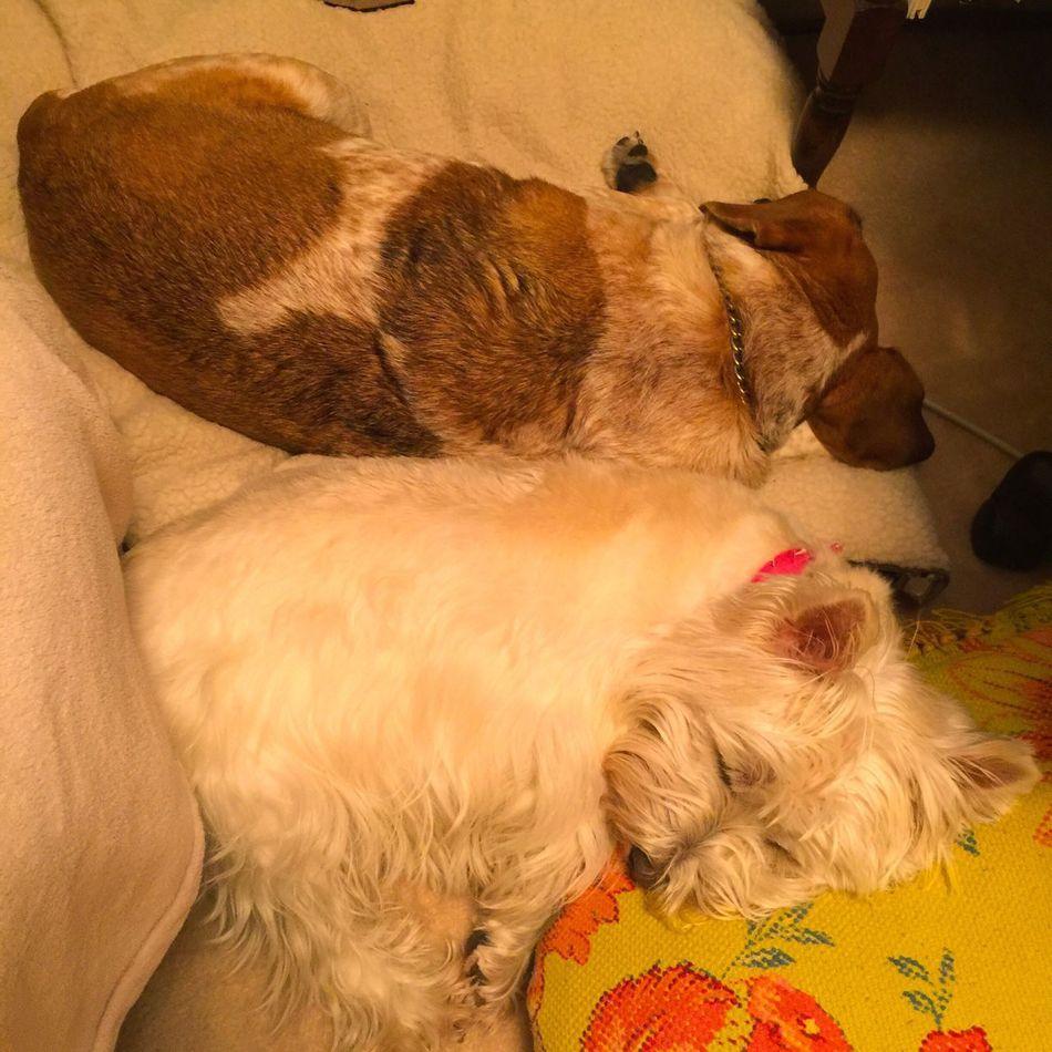 It's a lazy dog rainy day.. Dogs Dog Lover Beagle Westie Beaglelife Westhighlandwhiteterrier Lazy Day Lazy Dog