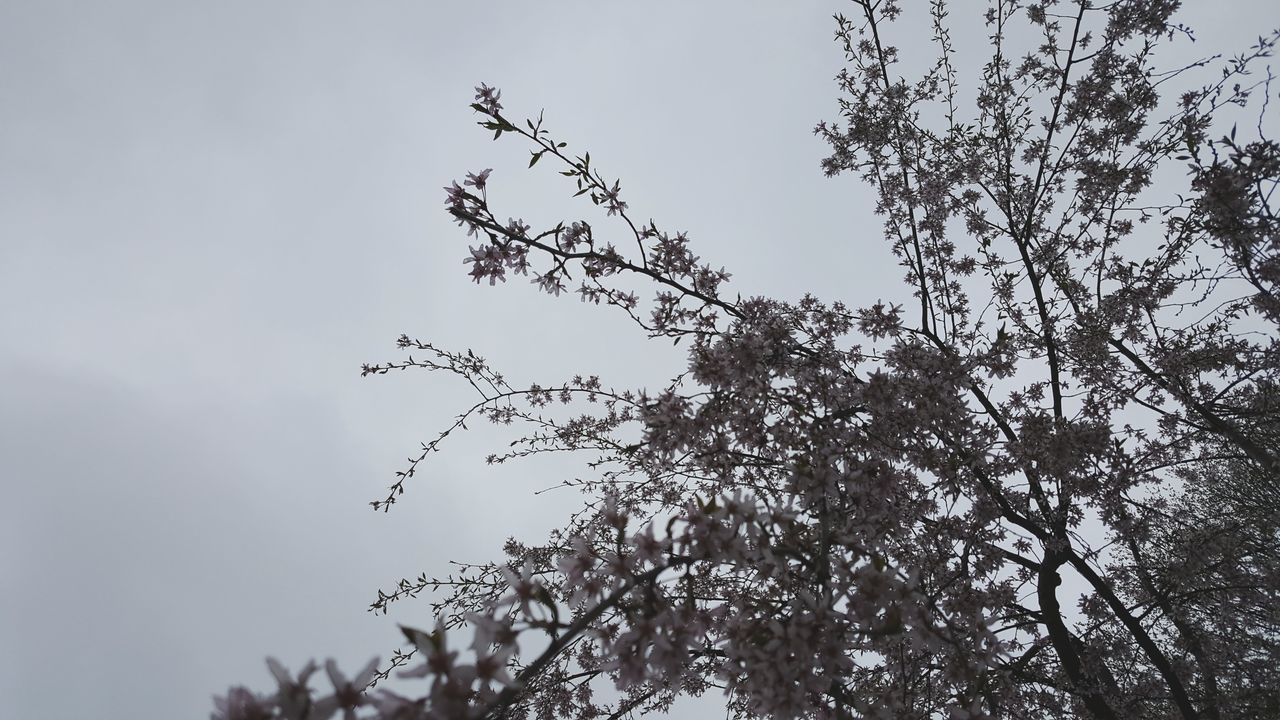 Fresh 1 Gray Background Pink Flowers Budding Tree Nature Sky No People Tree Outdoors Low Angle View Bud Branch Trees And Sky Spring