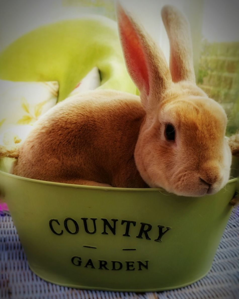 Softest Bunny Rex Rabbit Velvet Bunny House And Garden!!! Nature Photography Country Life Too Cute Pet Cutiepie Minilop Easter Ready