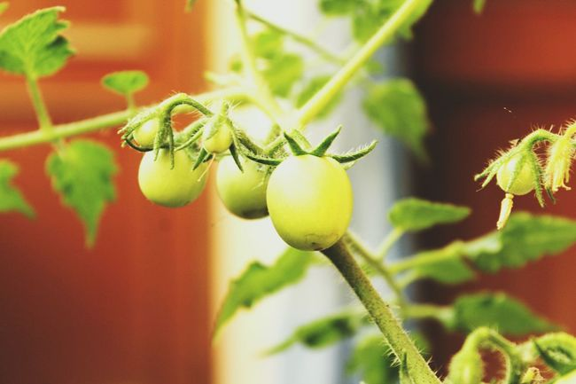 Nature, Tomatoes Containergardening Green Green Green!