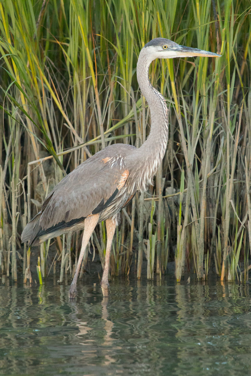 animals in the wild, one animal, heron, animal wildlife, bird, animal themes, great blue heron, gray heron, nature, outdoors, day, grass, water, no people, plant, ibis, alligator, beauty in nature