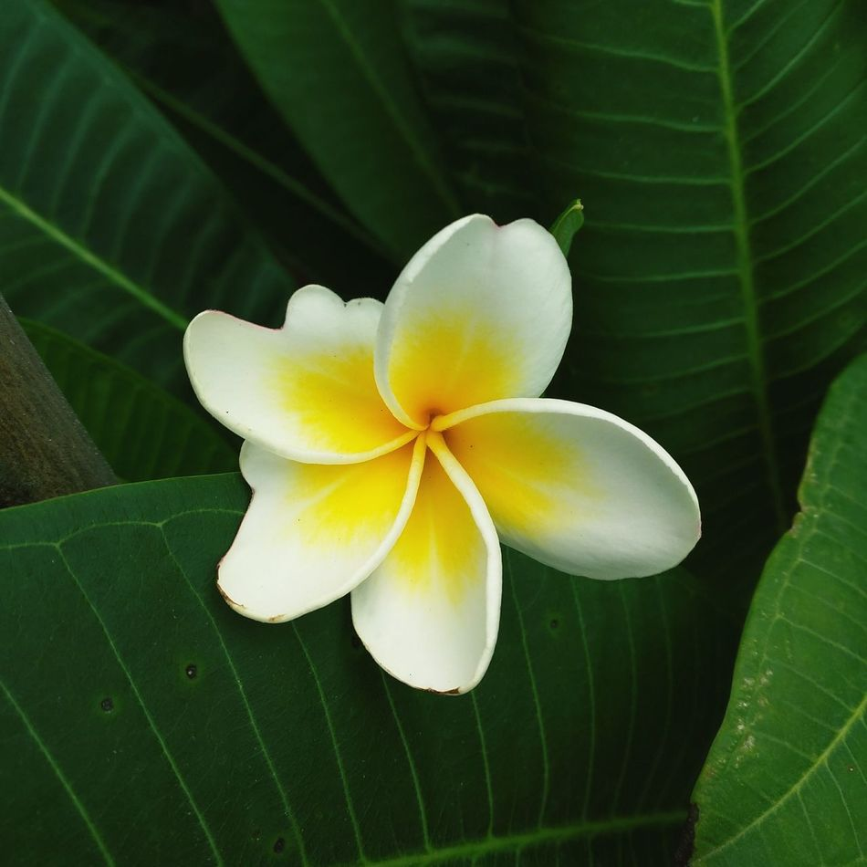 Thailand — Flower