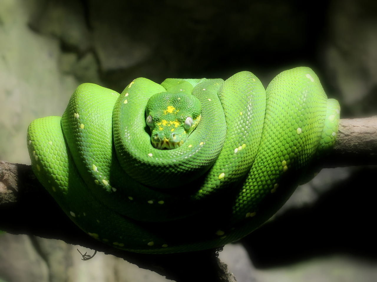 Tree snake: python mimicing a bird's nest Beauty In Nature Bird's Nest Close-up Curled Up Day Detail Focus On Foreground Green Green Color Green Snake Green Snakes /tree Snake Growth Nature No People Outdoors Plant Python Pythons Selective Focus Snake Snakes Tree Snake