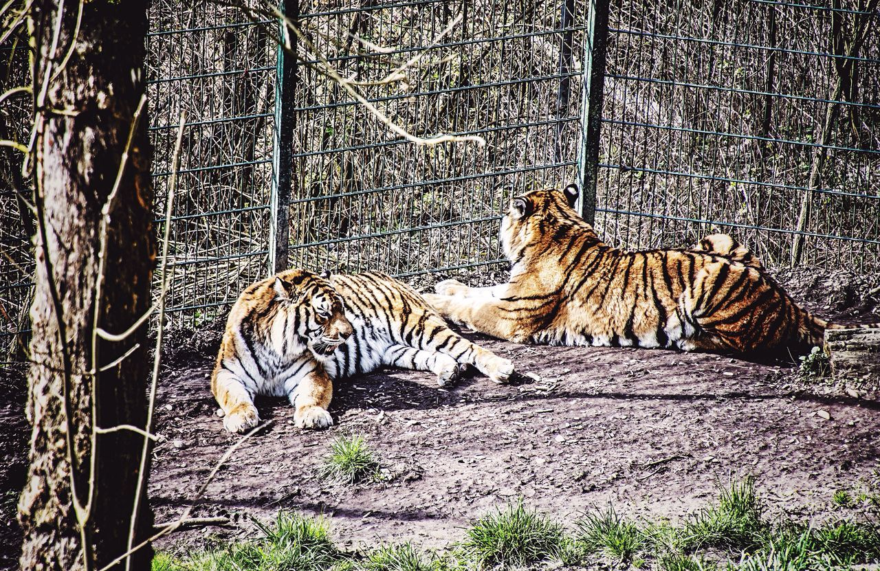 Watching Tigers Hanging Out Lazysunday Scenery Shots Watching Animals From My Point Of View Zoophotography