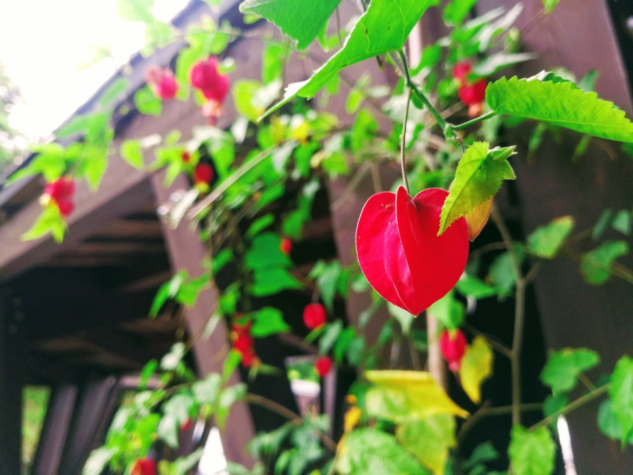 growth, red, plant, leaf, nature, no people, day, beauty in nature, outdoors, green color, freshness, fragility, close-up, flower, tree