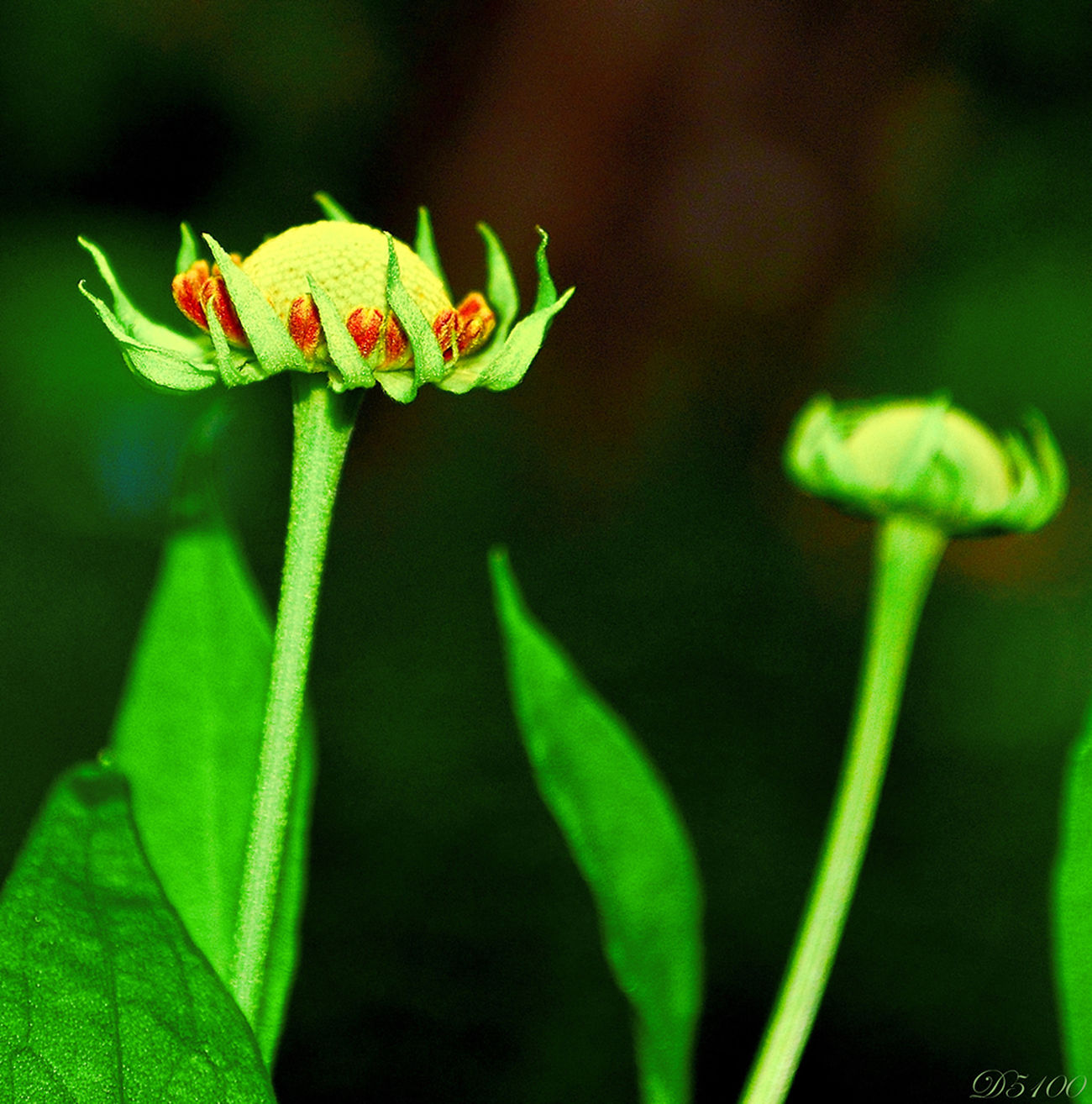 Nikon D5100  StreamzooFlowers Flowerporn Flowers Macroclique