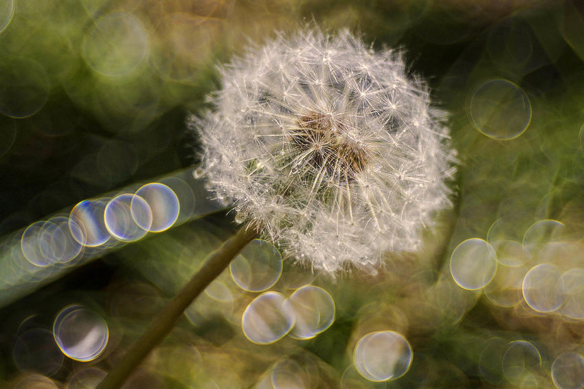 Beauty In Nature Close-up Dandelion Dandelion Seed Day Flower Flower Head Fragility Freshness Growth Hope Nature No People Outdoors Plant Trioplan100