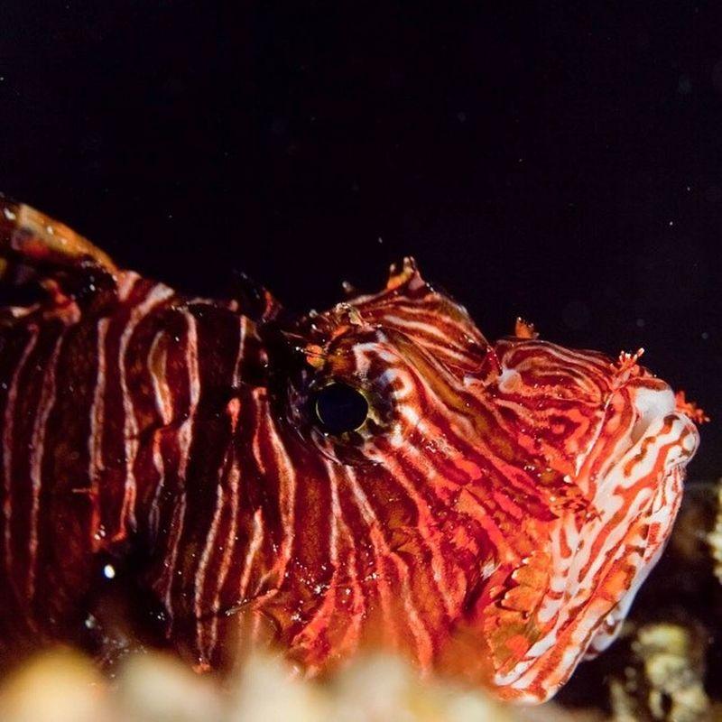 Lion f @klikarbain @arbainrambey Lionfish Kakabanisland Derawan Underwater Photography Animal Fish Sea