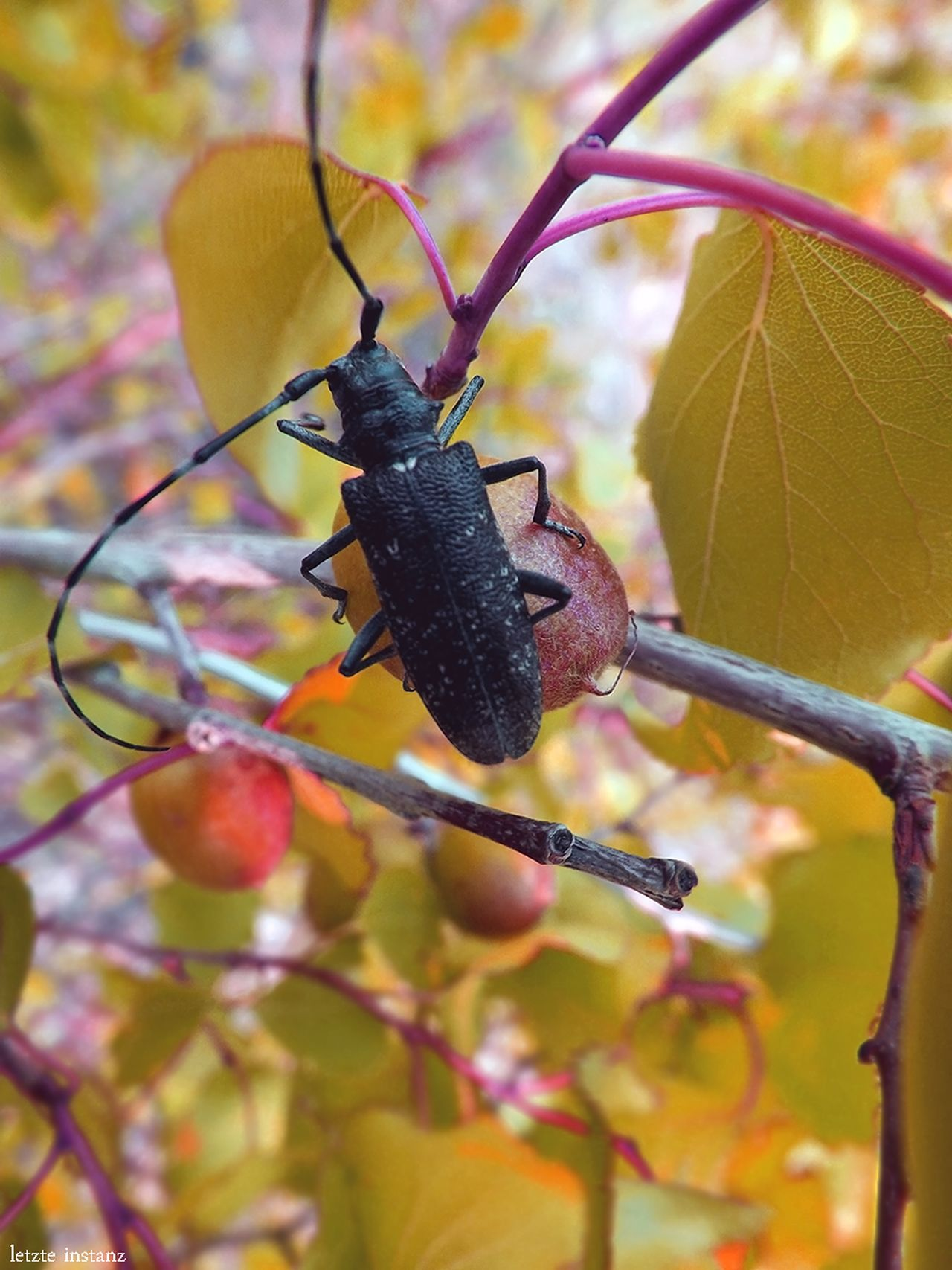 Beetle Insect Macro Nature Transbaikalia Забайкалье Black Beetle Autumn Apricot Beetle-barbel Apricot Tree Day No People