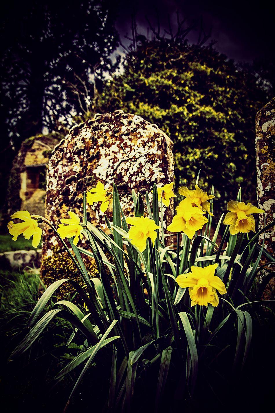 Daffodils in the graveyard of St John's Old Church, Boughton, Northamptonshire. Daffodils Daffodil Graveyard Church Ruins Boughton Northamptonshire Secret Garden