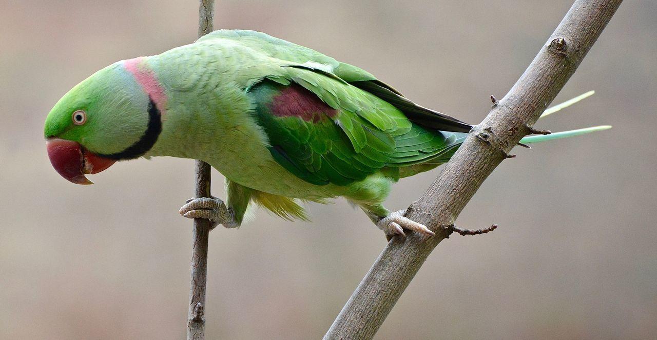 Natural Beauty Exotic Creatures Urban Nature Alexandrian Parakeet Male Green Green Green!  Bird Photography Birds_collection