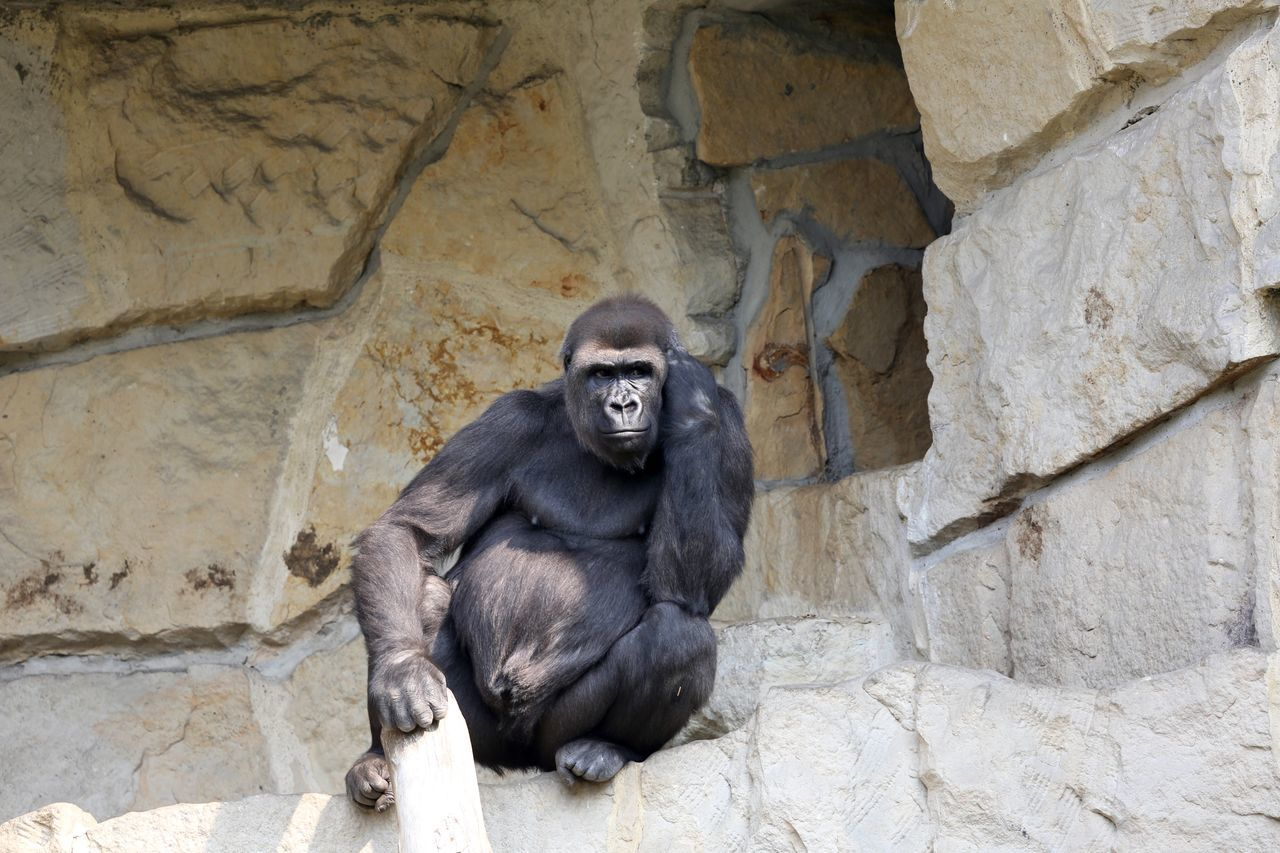 Beautiful stock photos of gorillas, Animal Themes, Animal Wildlife, Animals In Captivity, Day