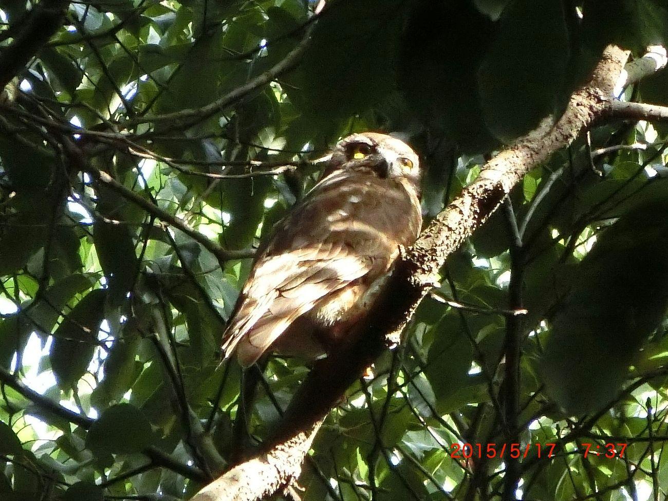 アオバズク Bird Park 明石公園 Oul