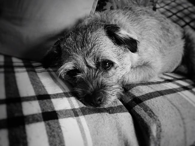 Boarder Terrier Pets Dog Tireddog Toomuchfun  Dog❤ Oneeyeopen Leeds, UK Canon60d Blackandwhite Photography Blackandwhite 50mm Monochrome The Week On Eyem Monochrome Photography