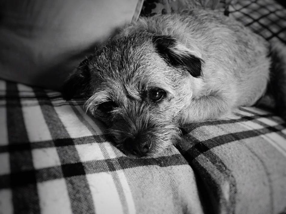 Boarder Terrier Pets Dog Tireddog Toomuchfun  Dog❤ Oneeyeopen Leeds, UK Canon60d Blackandwhite Photography Blackandwhite 50mm Monochrome The Week On Eyem Monochrome Photography Always Be Cozy
