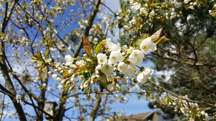 Nature Springtime Cherry Blossom Kirschblüte Frühling Nature No People No Filter