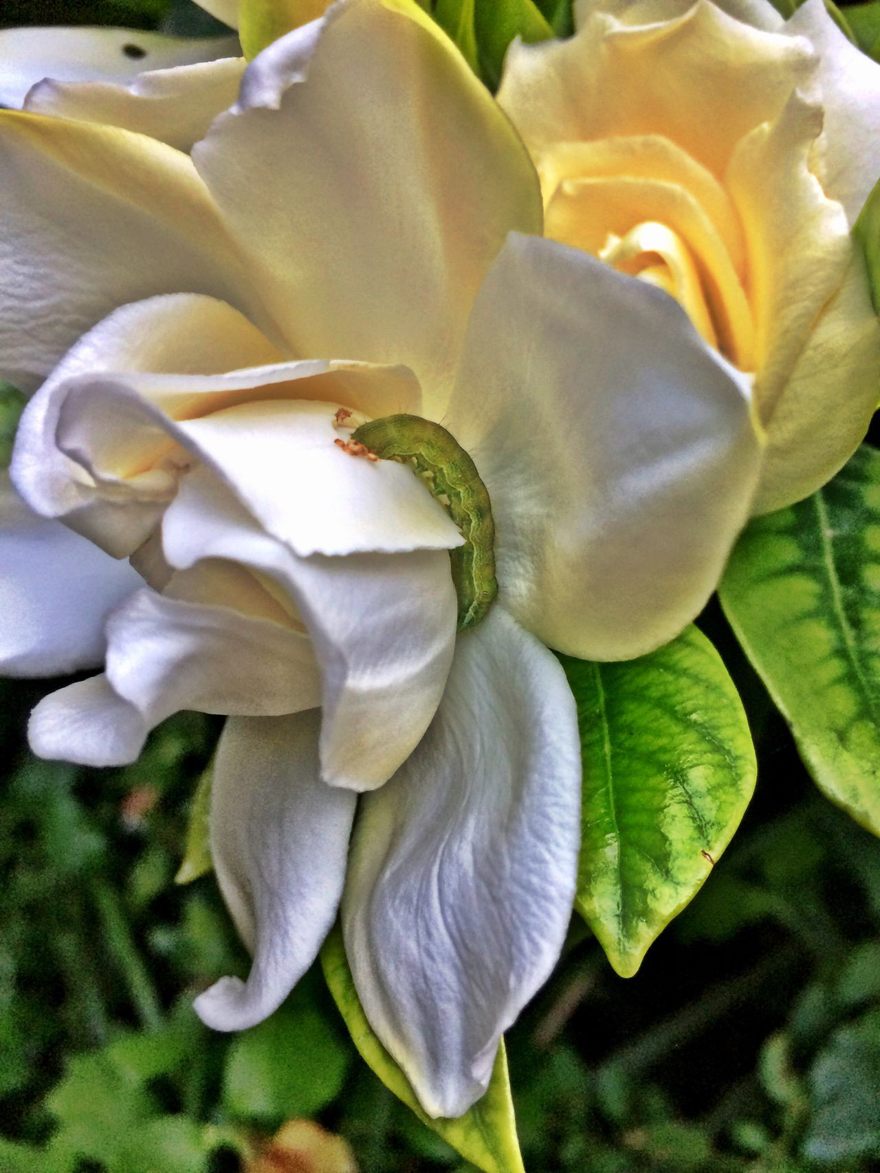 Gardenia Plant Flower Head White Leaf Close-up Flower Fragility Nature Beauty In Nature Caterpillar Chance Encounters