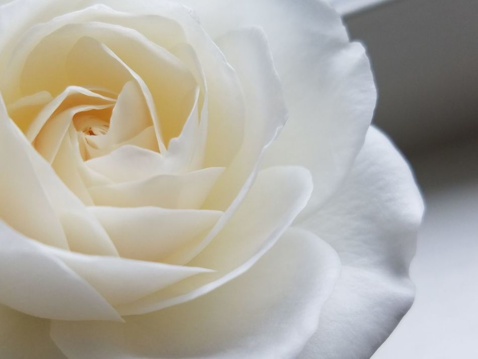 Natural Light No Edit Fragility Flower Flower Head Rose - Flower Close-up Petal Beauty In Nature Backgrounds Nature Freshness Abstract Extreme Close-up White On White Softness Tranquility Copy Space Check This Out Pattern, Texture, Shape And Form White Roses Fine Art Photography Freshness Vitality Macro