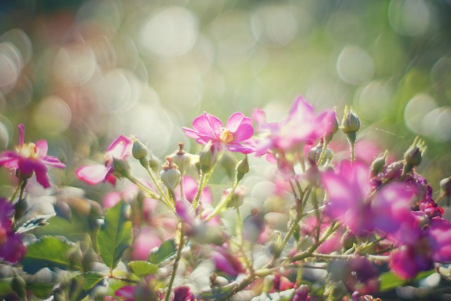 Capture The Moment Shine Bright Bokeh Flowers Fragility Botany Fine Art Still Life Uzuki Of The Flower Focus On Foreground Selective Focus EyeEm Nature Lover Lens Flares Old Lens Landscapes Kira✨kira✨ Mood Nature Low Section Tranquility Abstract The Essence Of Summer Macro EyeEm Best Shots 16_08