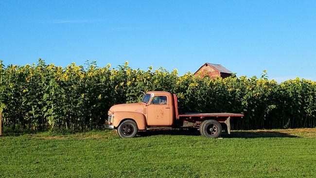 Children of the Sun Landscapes Sunflowers🌻 Sunflowers Sunflower Field Yellow Antique Truck Samsungphotography The Purist (no Edit, No Filter) Nopeople From My Point Of View Eye4photography  Colour Of Life Barn Check This Out