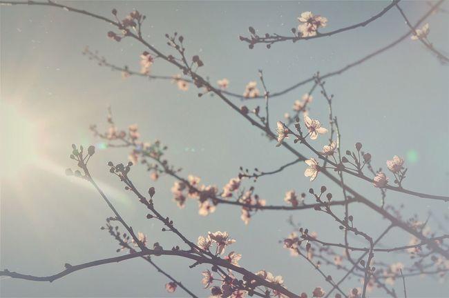 Spring Blossom Spring Flowers Tree Trees Tree And Sky