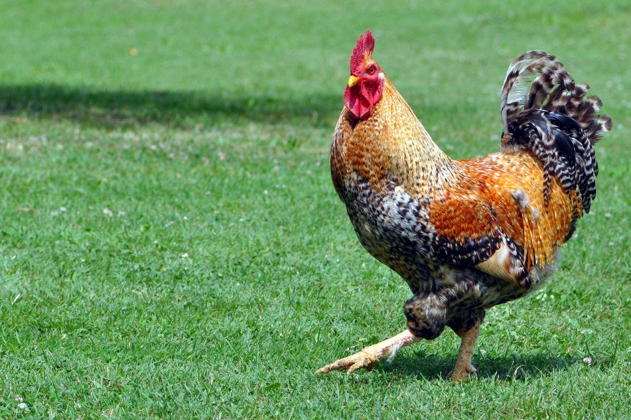 Chicken Farm Summer Power
