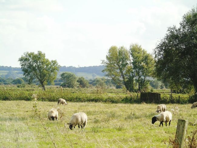 Animal Themes Grass Livestock Mammal Landscape Domestic Cattle Grazing Green Color Grassy Growth Nature Cloud Somerset Levels Uk In All Its Glory Nature On Your Doorstep Cloud - Sky
