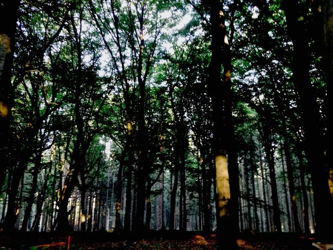 Forest Tree Forest Germany
