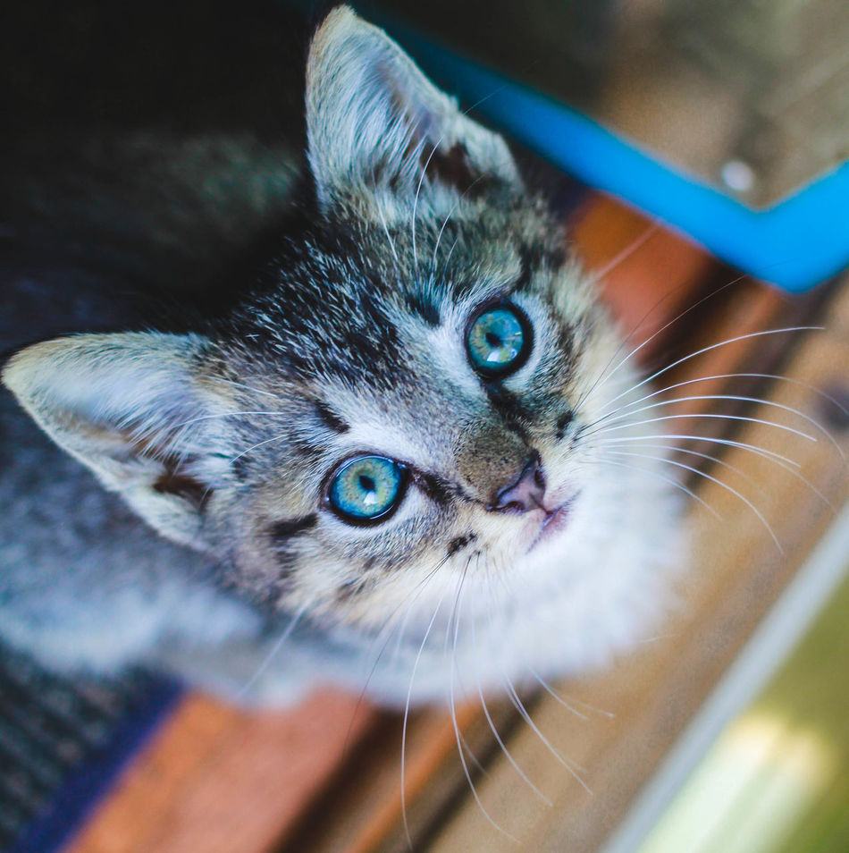 Rocky the kitten Alertness Animal Animal Eye Blue Cat Close-up Curiosity Domestic Cat Feline Focus On Foreground Pets Portrait Selective Focus Staring Whisker