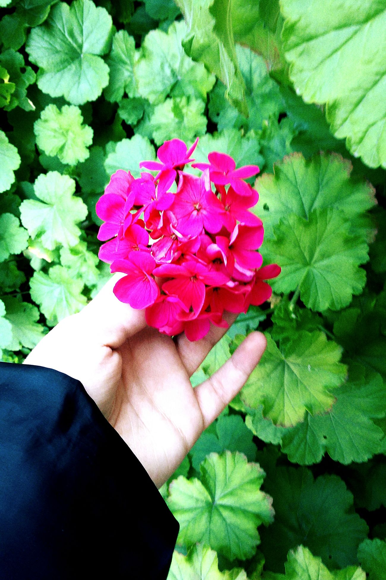 Nature_collection Nature Photography Naturelovers Flower Head Pink Color Freshness Beauty In Nature Human Hand Flower One Person Fragility Day MadebyMe ☝✌ Plant Holding Motion Freedom Tranquil Scene
