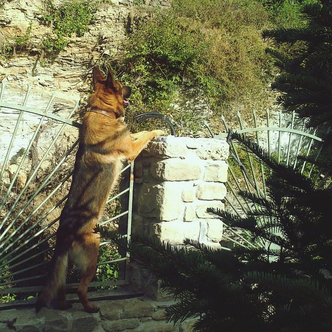 GSD Guarding The Garden Angelic