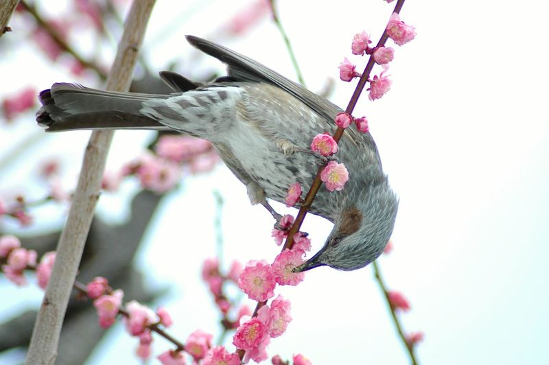 EyeEm Birds Nectar Flowers,Plants & Garden Japan 栃木県 Plum Flower Nikon D70 EyeEm Bird Lover  EyeEm Best Shots - Flowers EyeEm Best Shots
