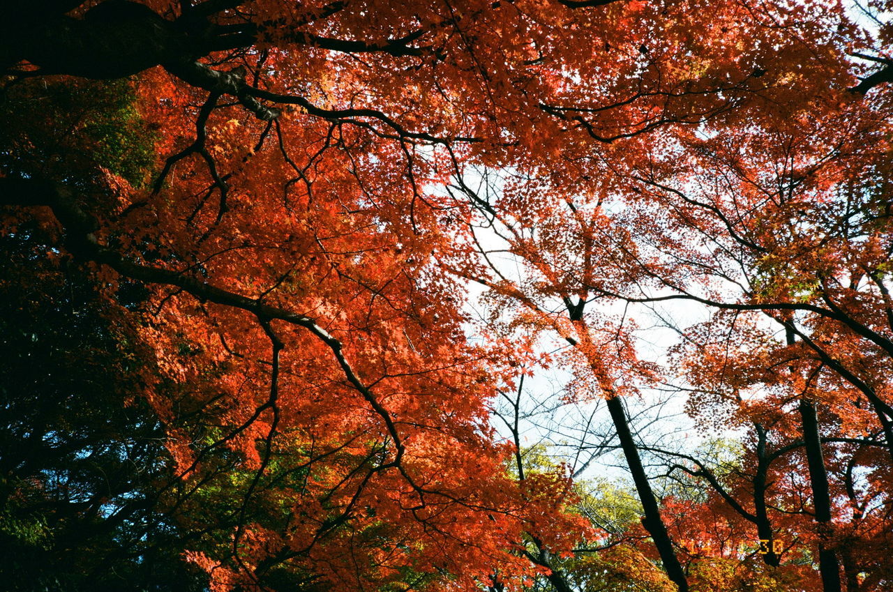 tree, autumn, nature, branch, beauty in nature, low angle view, growth, outdoors, no people, scenics, forest, red, day, sky