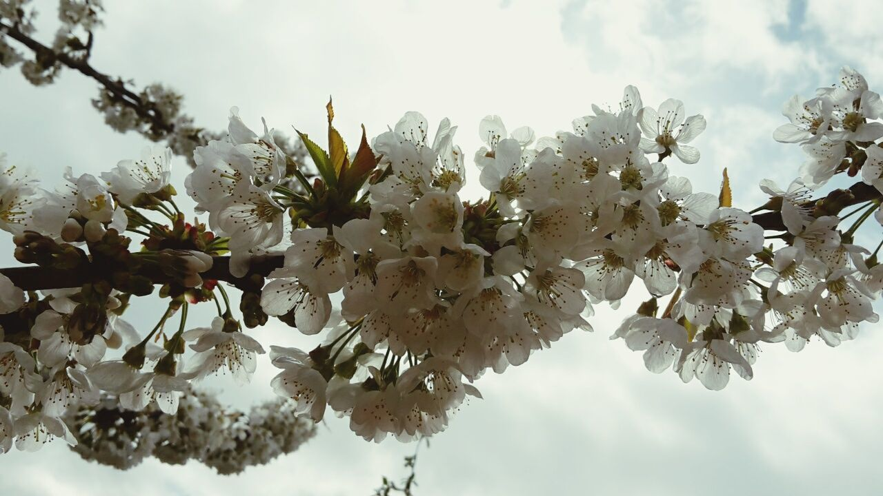 flower, beauty in nature, blossom, growth, nature, fragility, freshness, tree, springtime, apple blossom, apple tree, white color, branch, botany, no people, petal, low angle view, day, blooming, outdoors, sky, flower head, close-up